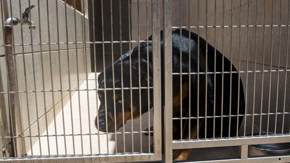 Muere un hombre de 47 años en Coslada (Madrid) tras ser atacado por su rottweiler