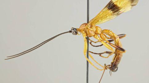 Hallan una avispa parásita que manipula el comportamiento de las arañas