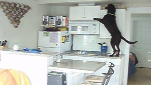El perro-ladrón más listo del mundo: engañaba a sus dueños haciendo creer que había ratones en la casa