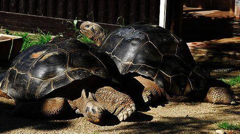 Dos tortugas protagonizan la mayor historia de amor (y desamor) de todos los tiempos