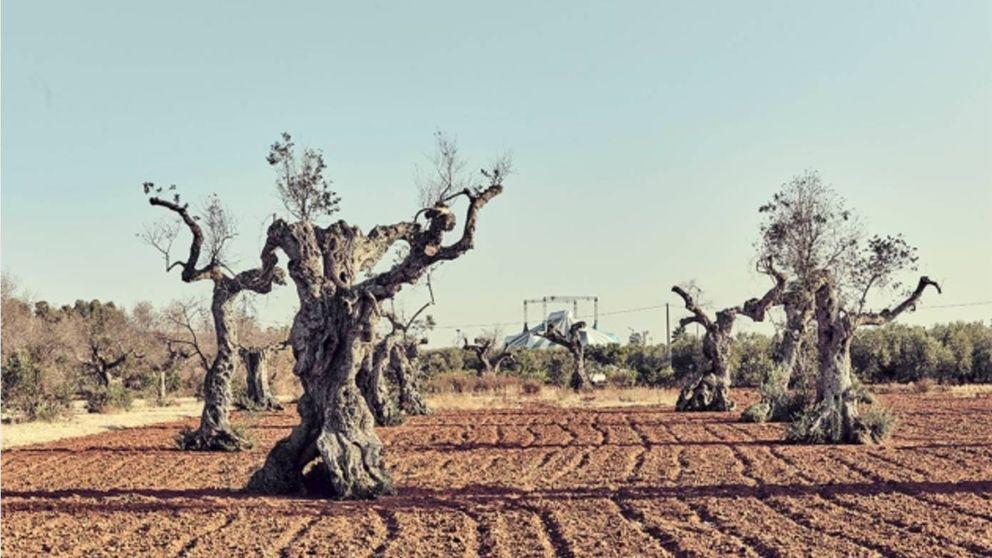 Experimentos a contrarreloj contra el ébola del olivo: recurren a virus y drones