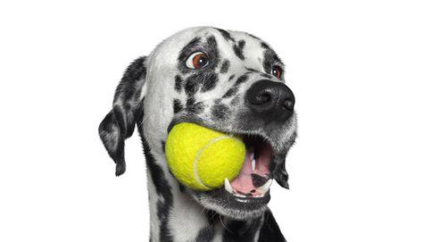 Los motivos por los que tu perro no debería jugar con pelotas de tenis