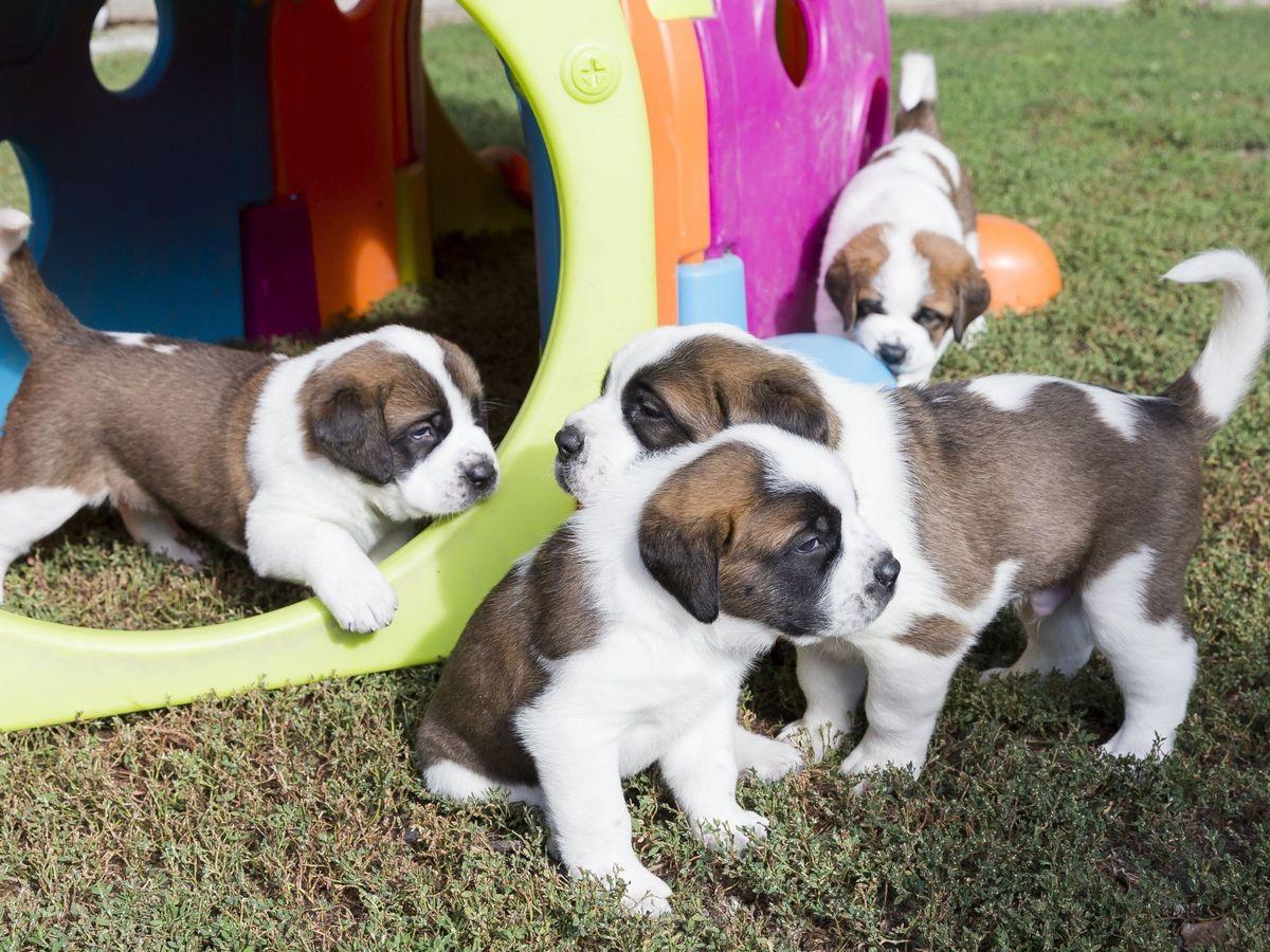 Foto: Un grupo de cachorros de San bernardo. Foto: EFE Cyril Zingaro