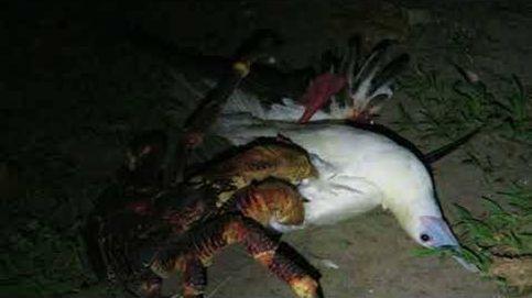 La escena fue bastante horripilante: las cámaras captan por primera vez a un cangrejo cazando y matando un pájaro