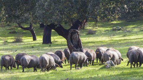 La peste porcina, el problema de salud que más preocupa a la UE, llega a España