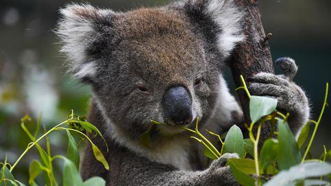 Unos 61.000 koalas fueron víctimas de los incendios del 'Verano Negro' en Australia