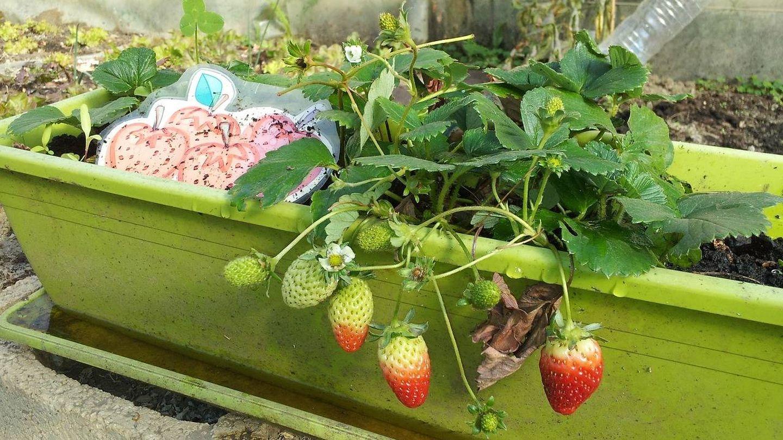 Cultivo de fresas en un huerto urbano.