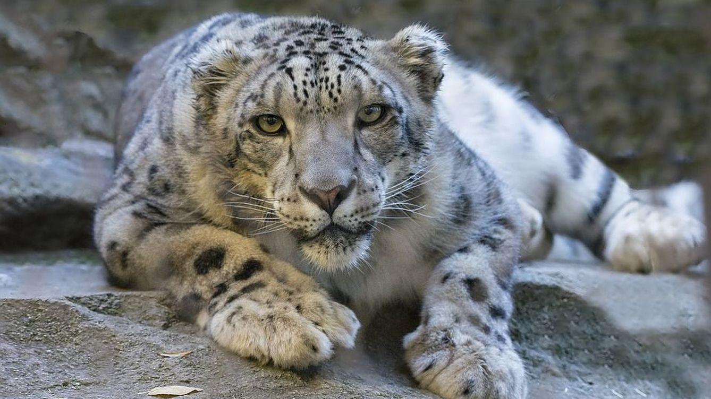 En busca del leopardo de las nieves