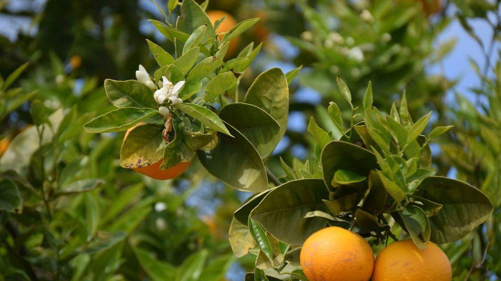 Foto: El campo valenciano reclama soluciones a los bajos precios de naranjas y otros cítricos.