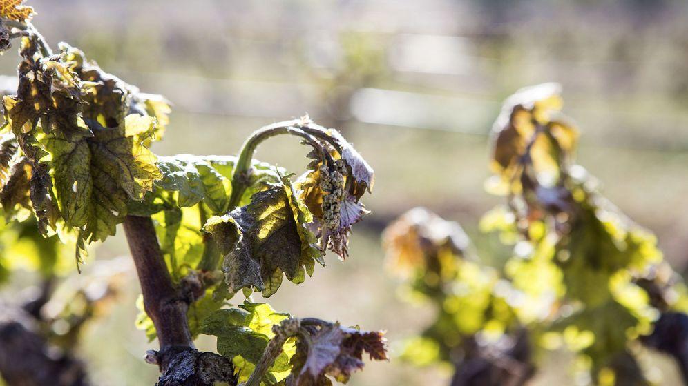 Foto: Temperaturas de hasta -8ºc afectan al viñedo. (EFE)