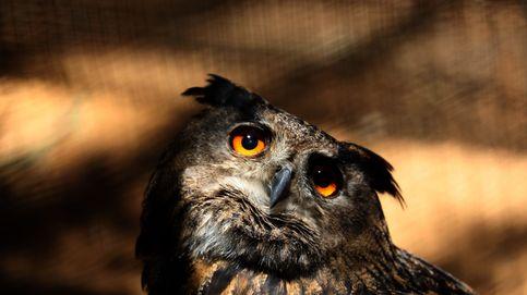 Vídeo: el celo de los búhos reales en Monfragüe
