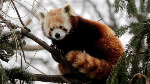 Descubren que los pandas rojos pertenecen a dos especies diferentes