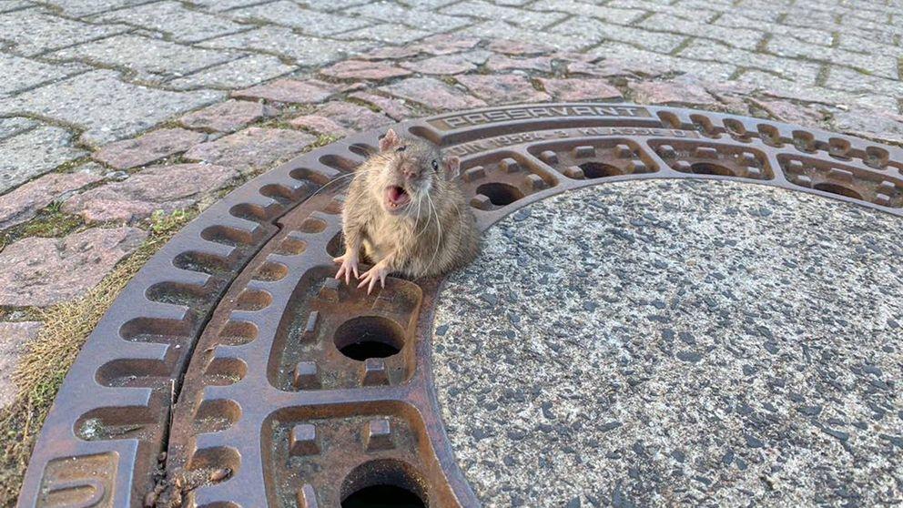 Bomberos alemanes rescatan a una rata gorda atrapada en una alcantarilla
