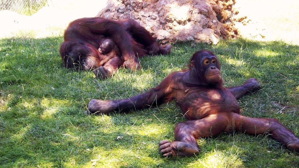 Foto: El zoo de Madrid fue escenario, por primera vez, del nacimiento de un orangután de Borneo en 2010 (EFE)