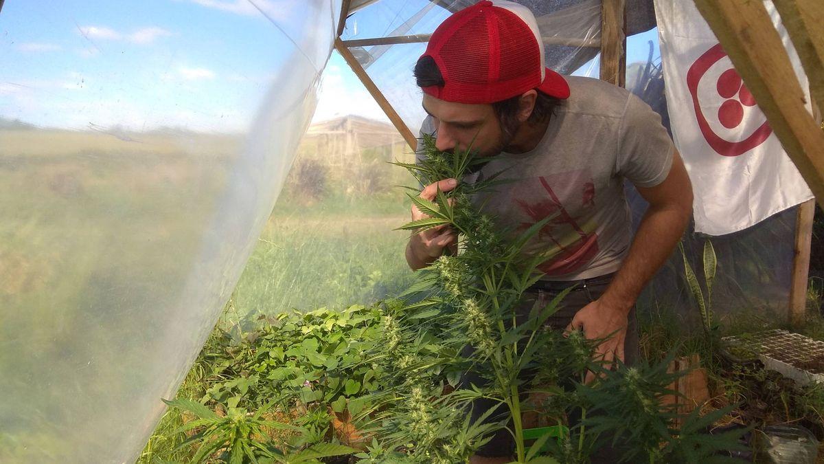 Narcotrafico Uruguay El Futuro De La Marihuana Legal