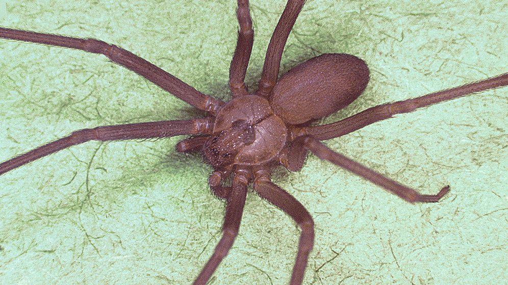 Foto: Ejemplar de araña violinista. (C.C.)