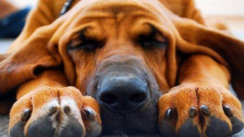 Las razas de perro más populares y sus problemas de salud: dálmata, bóxer, collie y más