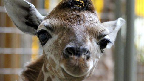 El nacimiento de April, la jirafa que ha reventado todos los récords en Youtube