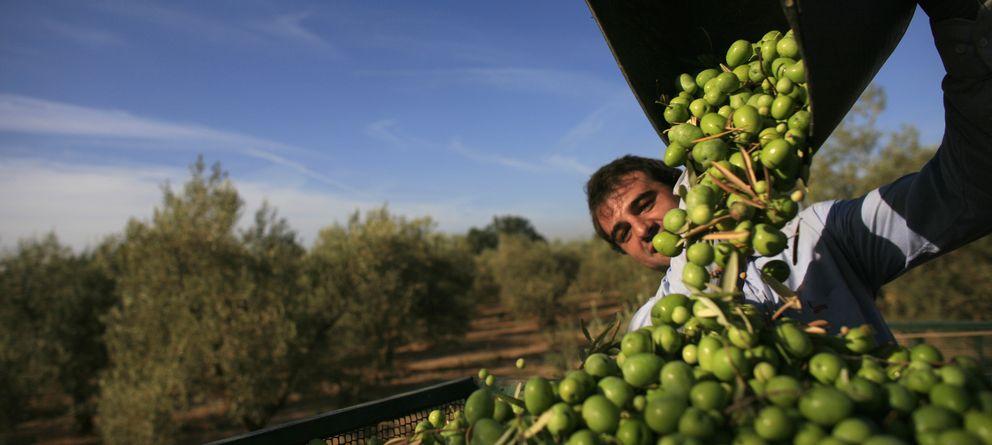 Foto: Trabajador en un olivar. (Reuters)