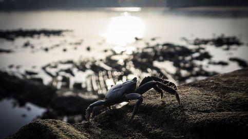 Millones de cangrejos invaden la isla Navidad en su recorrido hacia el mar