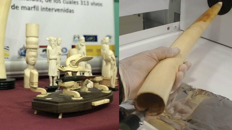 Científicos sevillanos destapan el tráfico de marfil gracias a las bombas nucleares
