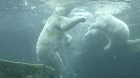Espectaculares imágenes de dos osos polares 'luchando' bajo el agua