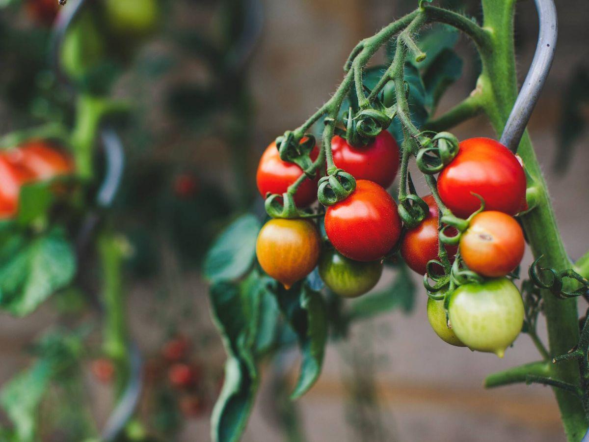 Foto: Los tomates mandan señales eléctricas entre las partes de la planta. (Unsplash)