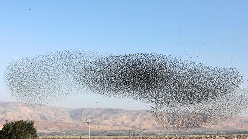 El espectacular vuelo sincronizado de los estorninos