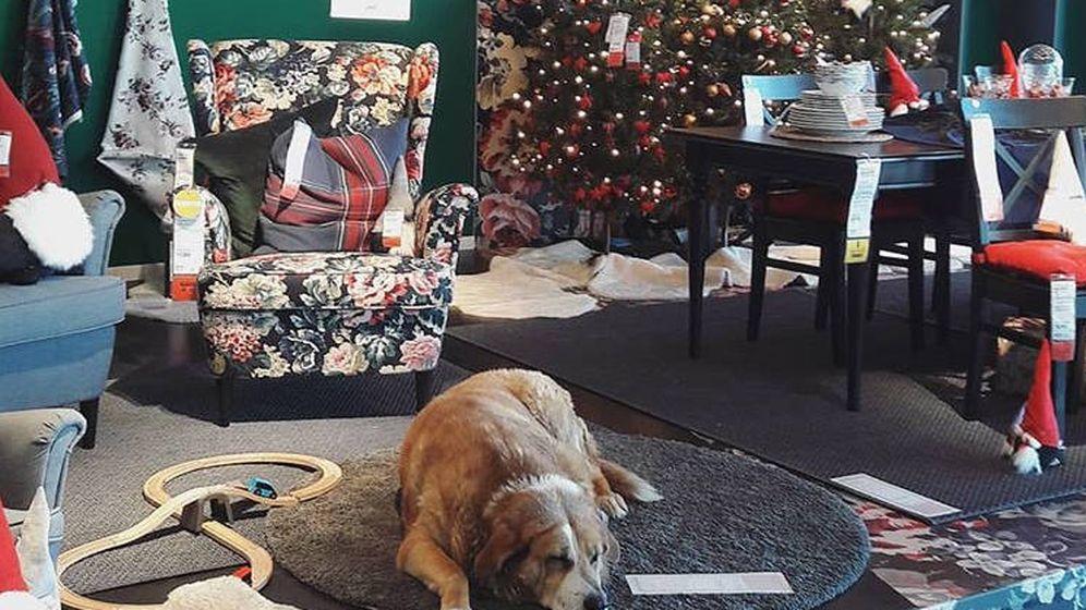Animales Una Tienda De Ikea En Italia Abre Sus Puertas A Los Perros