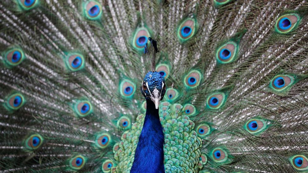 Foto: Pavo real mostrando su plumaje. (Foto: Reuters)