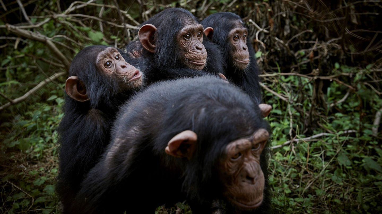 Chimpancés en la frontera entre Camerún y el Congo. (EFE)