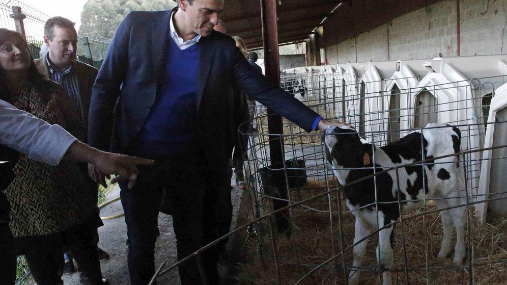 Foto: Pedro Sánchez, en Condres-Gozón, Asturias, durante una visita a una explotación ganadera, este 8 de octubre. (EFE)