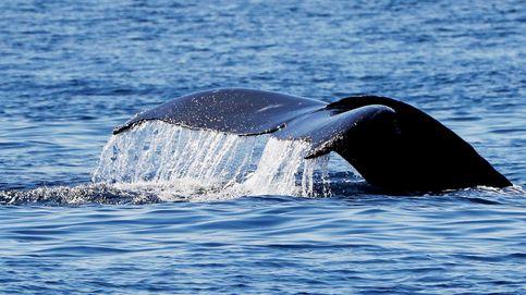 Olvídate de la báscula: drones para pesar ballenas