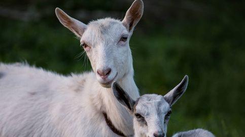 Esto es lo que puede hacer la leche de cabra por tu salud