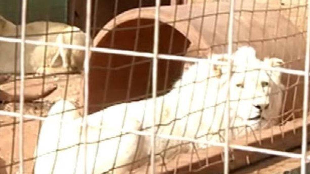 Foto: Mufasa, en el santuario en el que lleva viviendo tres años (Foto: YouTube)
