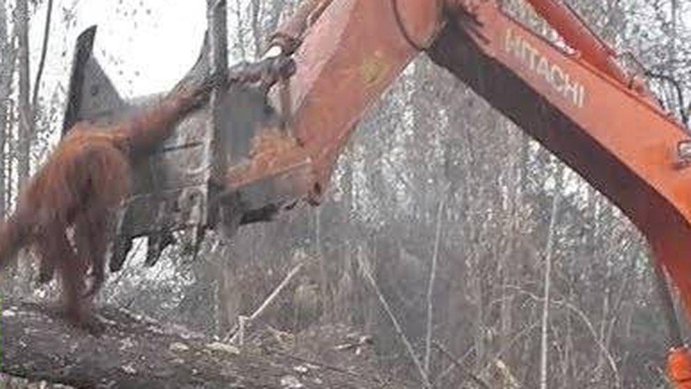 La épica lucha de un orangután contra la tala ilegal en la isla de Bormeo