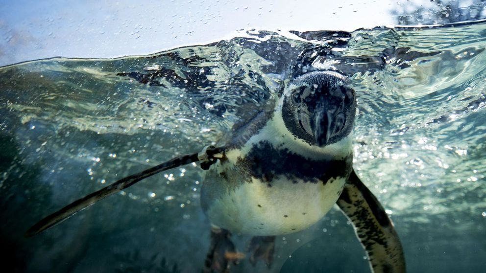 Los pingüinos de la ciudad de china de Harbin salen del acuario