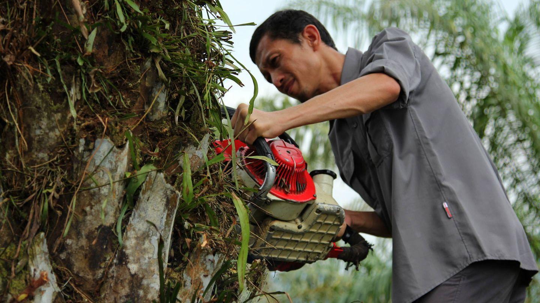 Rudi Putra disecciona una palma aceitera de una plantación ilegal en el distrito de Aceh Tamiang. (L. Villadiego)