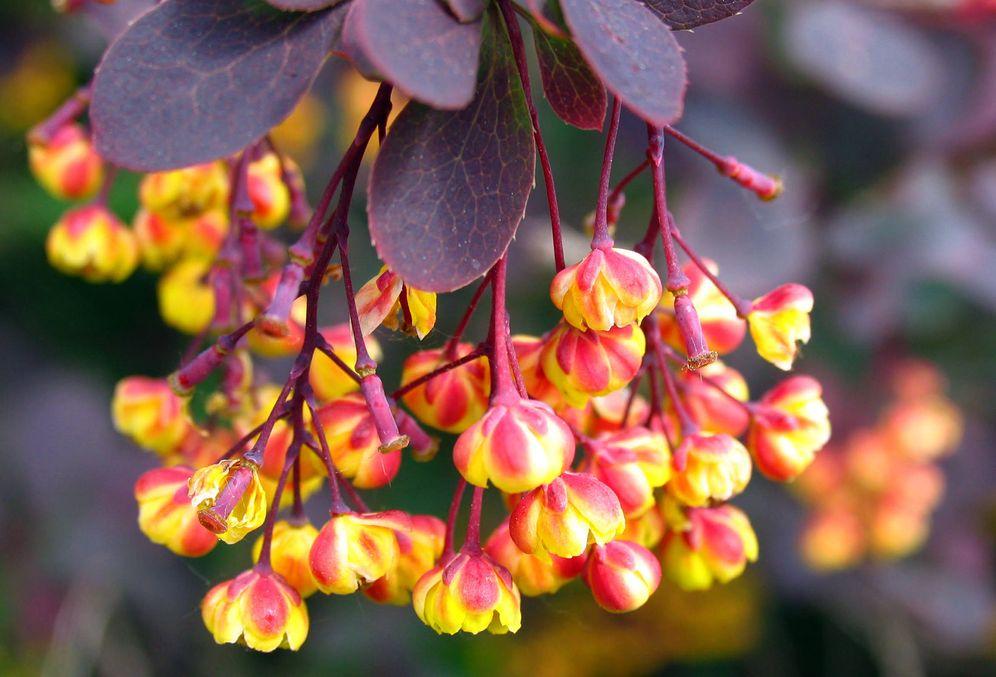 Foto: La berberina se extrae de distintas plantas asiáticas. (iStock)