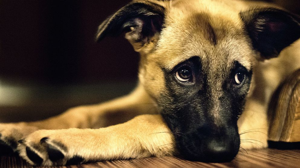 Los perros saben si estás contento o enfadado