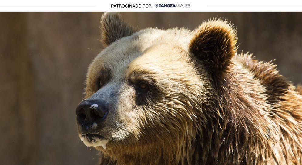 Foto: Un precioso ejemplar de oso pardo.