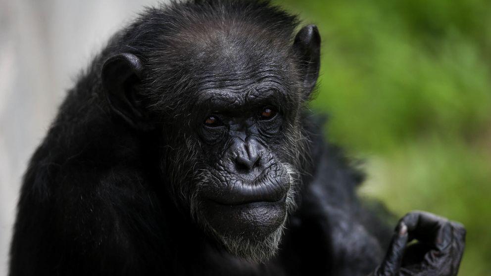 ¿Preparado para que un chimpancé te gane a piedra, papel o tijera?