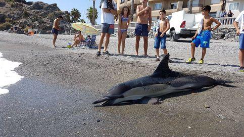 Plaga de cetáceos muertos: no se descarta un ajuste de cuentas entre 'delfines macarras'