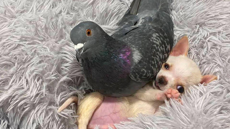 El insólito amor entre una paloma y un perro que está triunfando en las redes