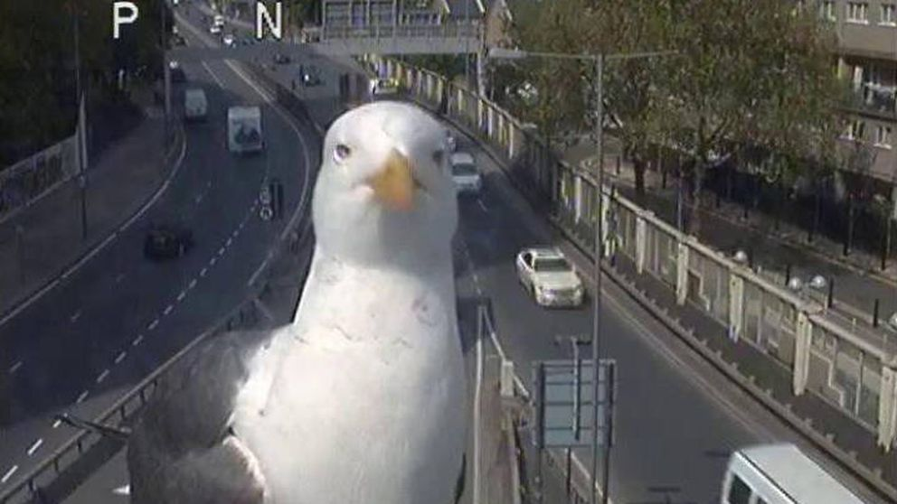 Dos gaviotas se hacen virales en Londres gracias a las cámaras de tráfico
