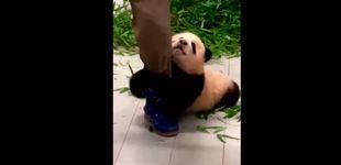 Post de Fu Bao, el panda necesitado de cariño que no deja marcharse a su cuidador