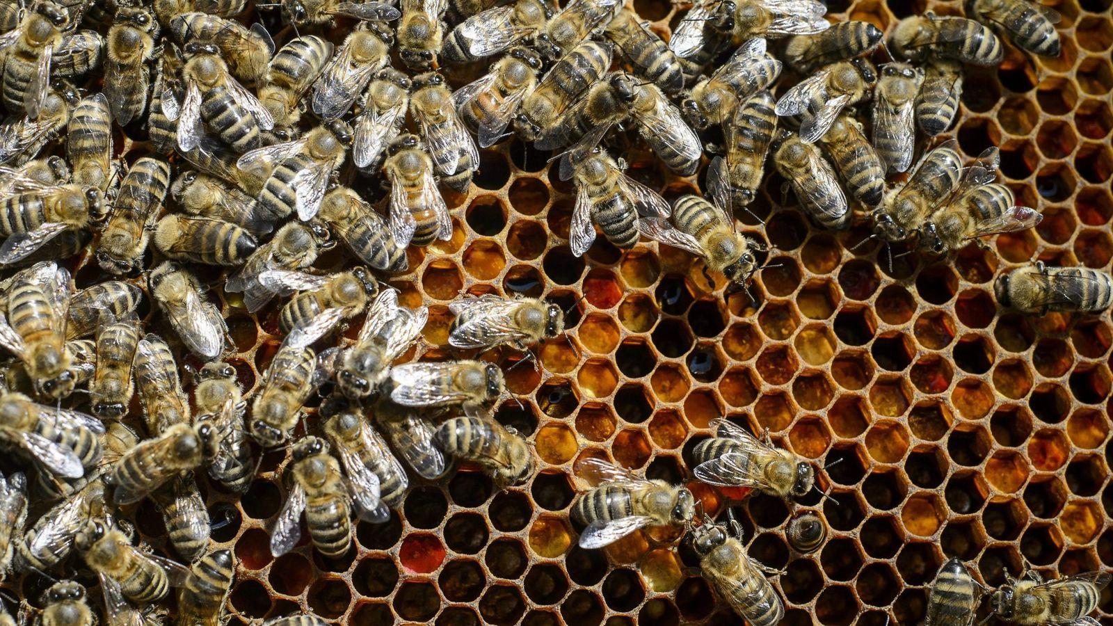 Foto: Las altas temperaturas perjudican el rendimiento de las abejas. (EFE)