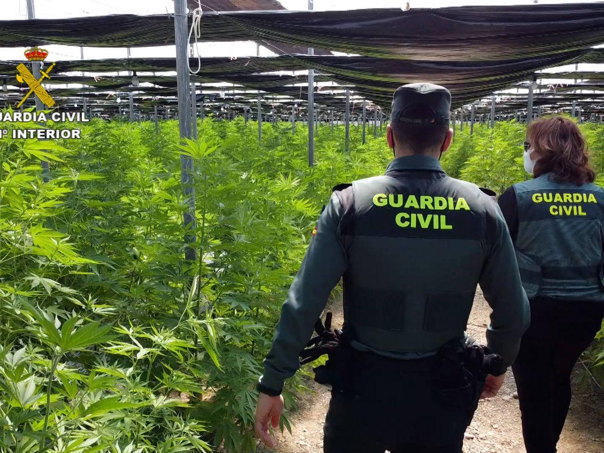 Foto: Plantación de marihuana en El Ejido, Almería. (Guardia Civil)