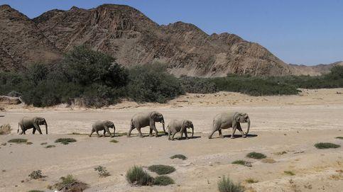 Los últimos días de los elefantes del desierto