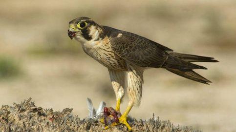 Los halcones de un islote canario confirman una hipótesis de hace más de un siglo
